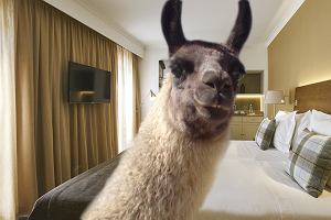 """Sieć hoteli zdradza najdziwniejsze prośby od gości. Pokój dla lamy i """"tańczące delfiny na dziewiątą"""" to dopiero początek"""