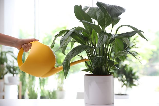 Skrzydłokwiat należy stosunkowo często podlewać. Zdjęcie ilustracyjne