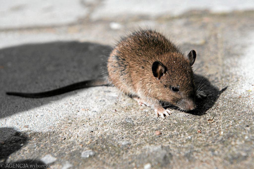 Szczur miejski