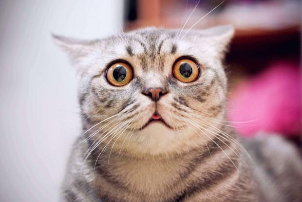 Rozpoznanie mimiki kotów jest bardzo trudne. Ale jest grupa ludzi, która potrafi to robić