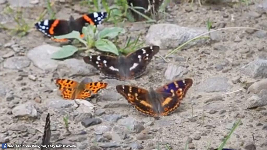 Motyle Bieszczady: zobacz zachwycający film