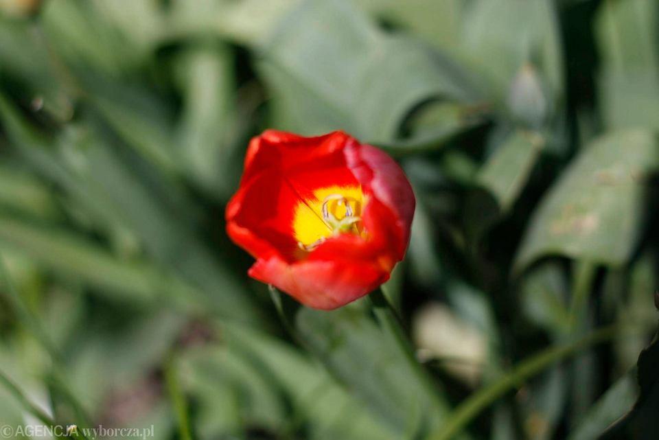 Zdjęcie numer 6 w galerii - Przy betonowej alei kwiatowej  wyrosły kwiaty. Tulipany o niezwykłych barwach