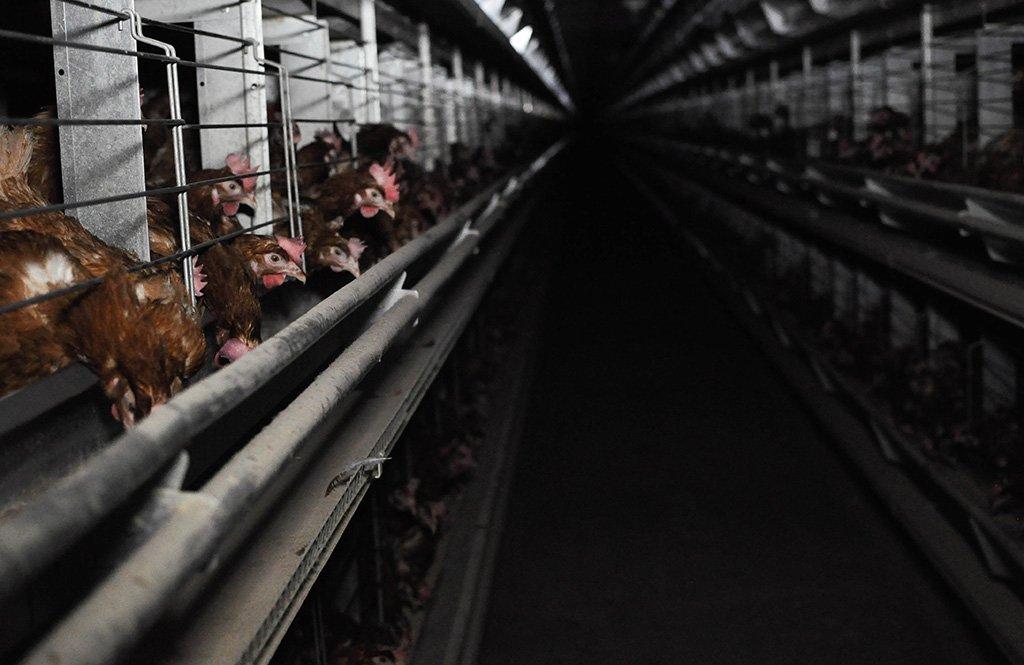 Członkowie stowarzyszenia Otwarte Klatki przekonują, że nie warto kupować jajek od kur z chowu klatkowego