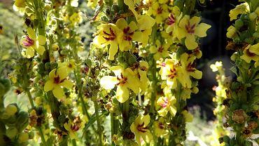 Dziewanna wielokwiatowa jest w Polsce rośliną powszechną. Do czego możemy ją wykorzystywać?