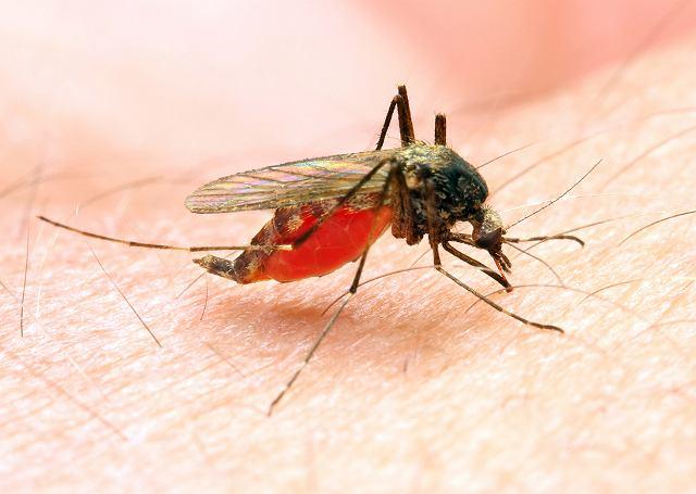 Jedna komarzyca może złożyć maksymalnie nawet 500 jaj