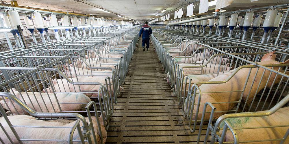 Przemysłowa ferma świń
