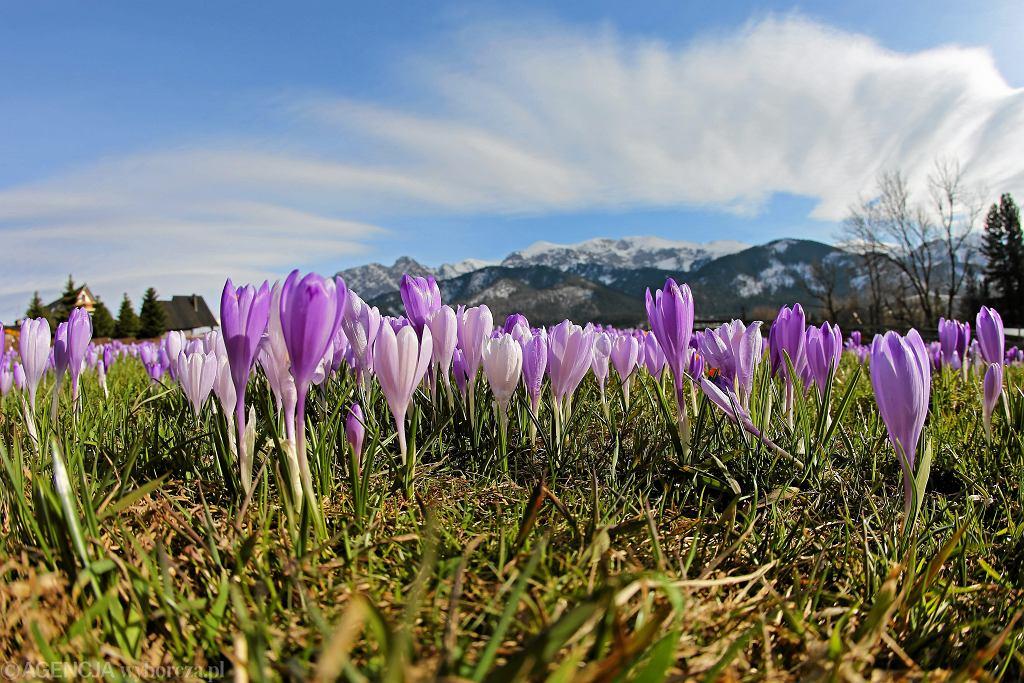 Krokusy w Tatrach w poprzednich latach