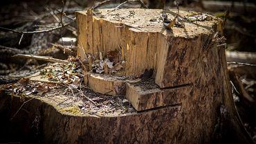 Wycinka drzew (zdjęcie ilustracyjne)