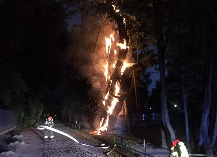 Pożar 600-letniego dębu Mieszko I na Ursynowie. 'Może być dla niego zabójczy'