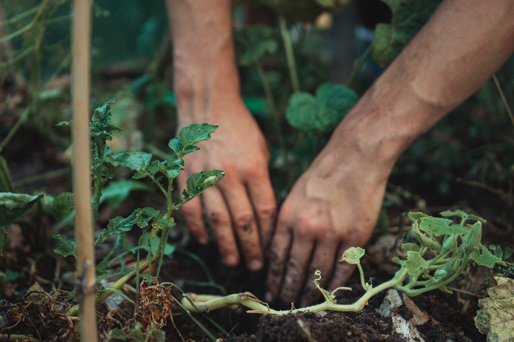 Jak sadzić ziemniaki w ogrodzie i na balkonie? [Temperatura, nawożenie, czas sadzenia]