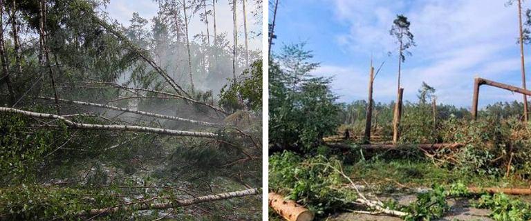 Trąba powietrzna w Borach Tucholskich wyrywała drzewa z korzeniami