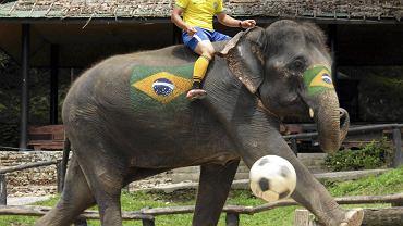 W ubiegły weekend w obozie dla słoni Mae Sa w Chiang Mai w północnej Tajlandii odbyła się impreza promocyjna mundialu w Brazylii, której głównymi gwiazdami były słonie