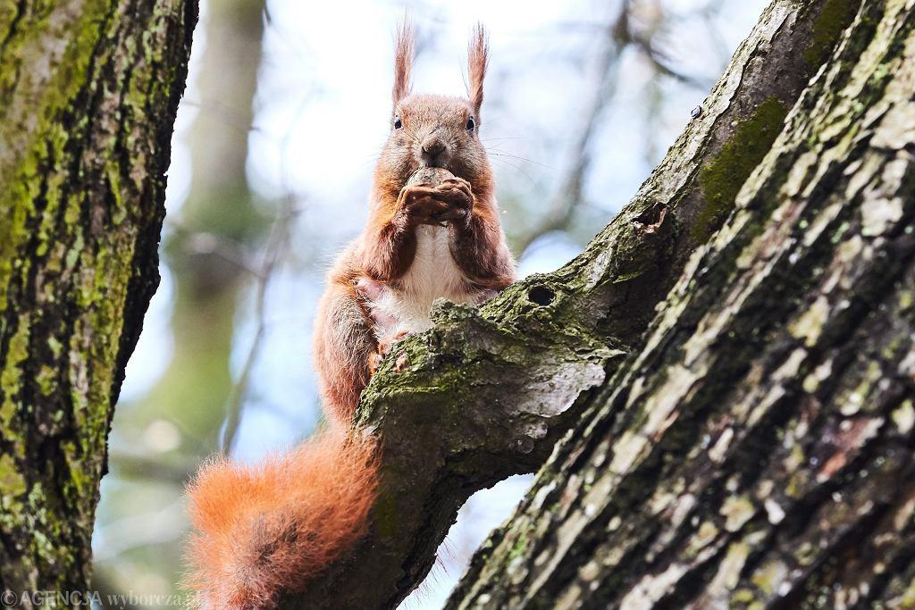 Wiewiórka z Gdańska