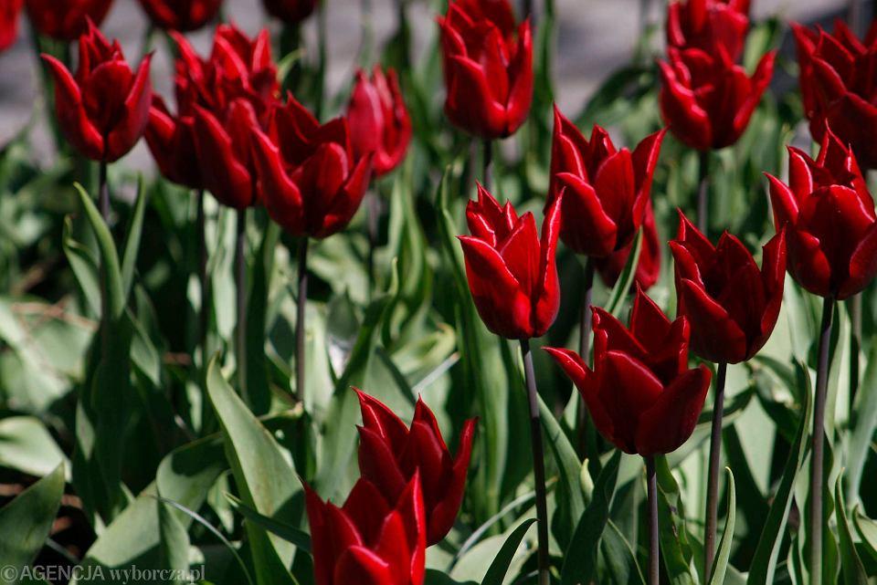 Zdjęcie numer 5 w galerii - Przy betonowej alei kwiatowej  wyrosły kwiaty. Tulipany o niezwykłych barwach