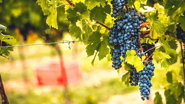 Kiedy przycinać winogrono? Zdjęcie ilustracyjne