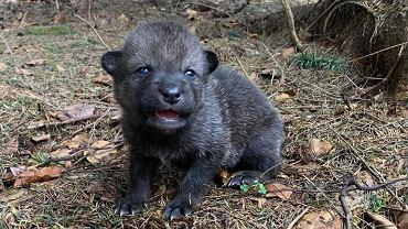 Przyrodnicy próbują zwrócić małego wilczka rodzinie