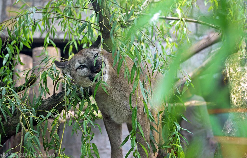 Puma Nubia mieszka teraz w chorzowskim zoo