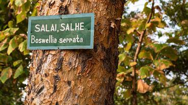 Boswellia serrata, nazywana też kadzidłowcem, to indyjskie drzewo