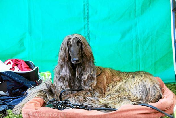 Międzynarodowa wystawa psów rasowych CACIB na terenie Stadionu Olimpijskiego
