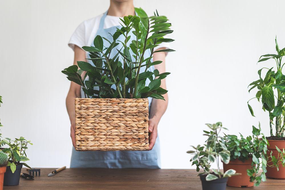Zamiokulkas to roślina prosta w uprawie. Zdjęcie ilustracyjne