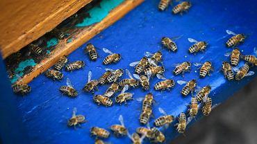 Pszczoły w pasiece