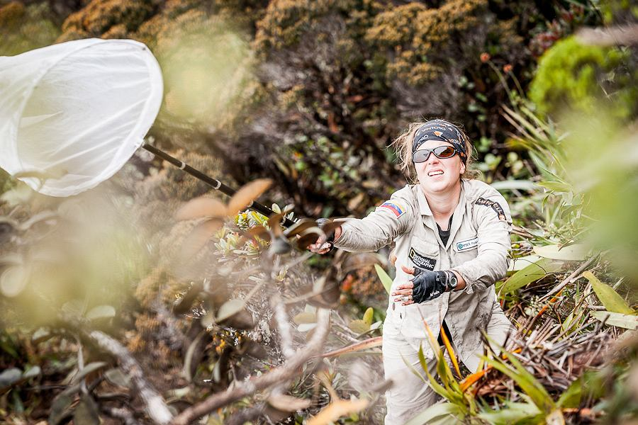 Izabela Stachowicz, młoda biolog z Uniwersytetu Jagiellońskiego podczas pracy. Łapanie motyli w górnych partiach dziewiczego lasu mglistego wymagało ogromnej wprawy i determinacji.