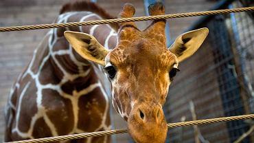 """Marius, """"nadprogramowa"""" żyrafa z zoo w Kopenhadze. Został zastrzelony w niedzielę 9 lutego"""