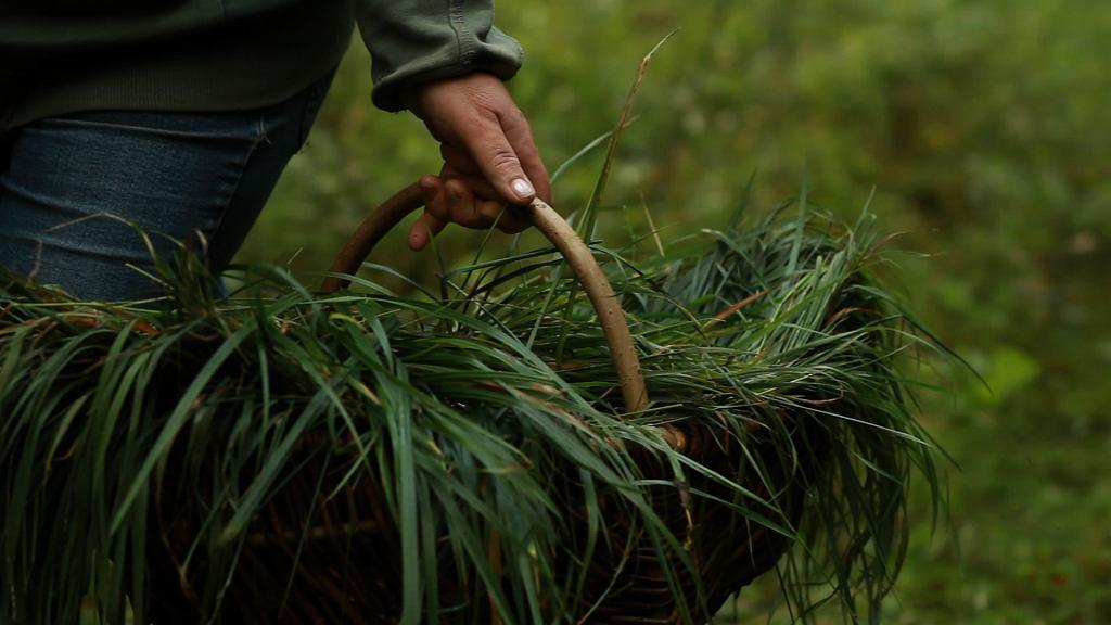 Zbieracze pojawiają się w lesie tuż przed świtem. Pokonują codziennie dziesiątki kilometrów, zbierając trawę źdźbło po źdźble.