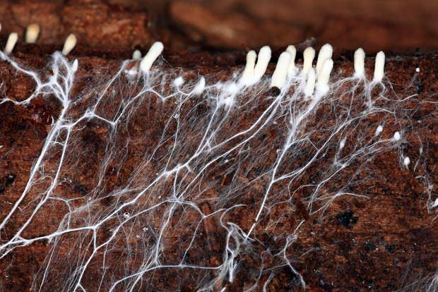 Grzyby z gatunku Cladosporium doskonale czują się w glebie oraz wodzie. Czasem można je