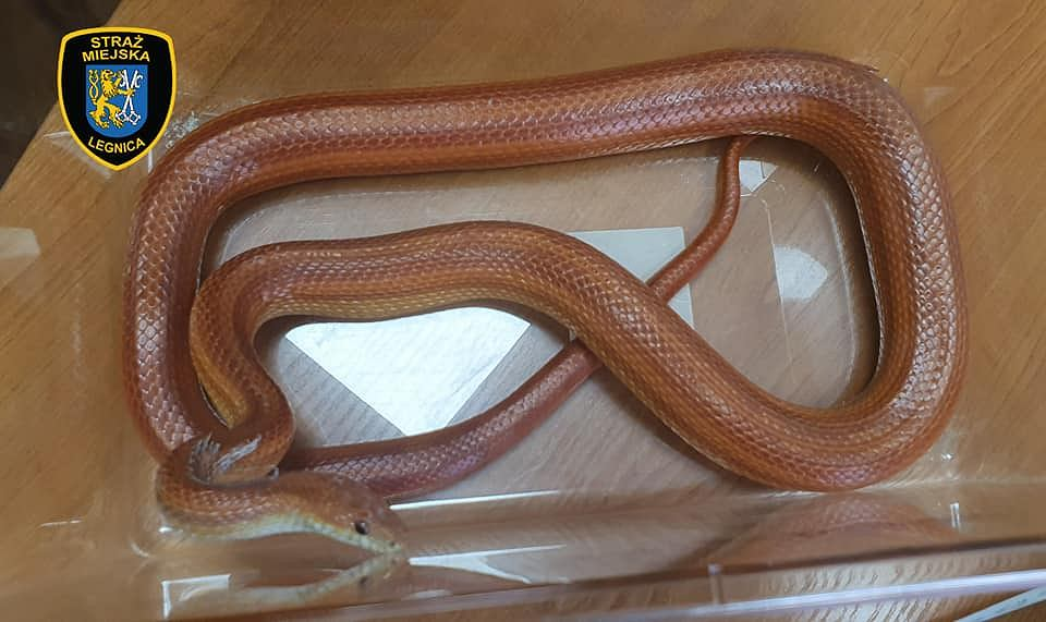 Strażnicy miejscy z Legnicy złapali węża zbożowego